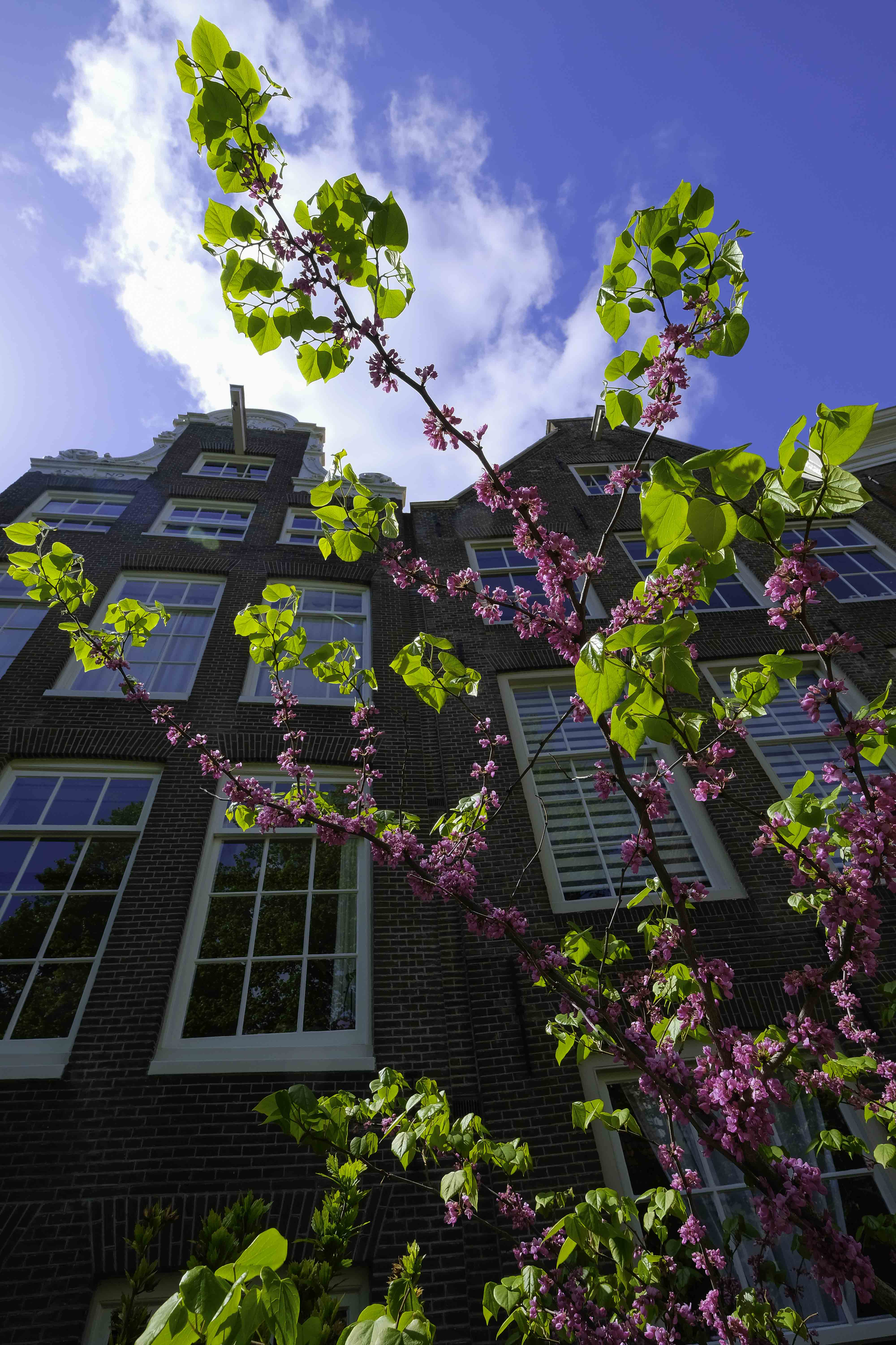 flowering-shrub-with-in-background-old-facades