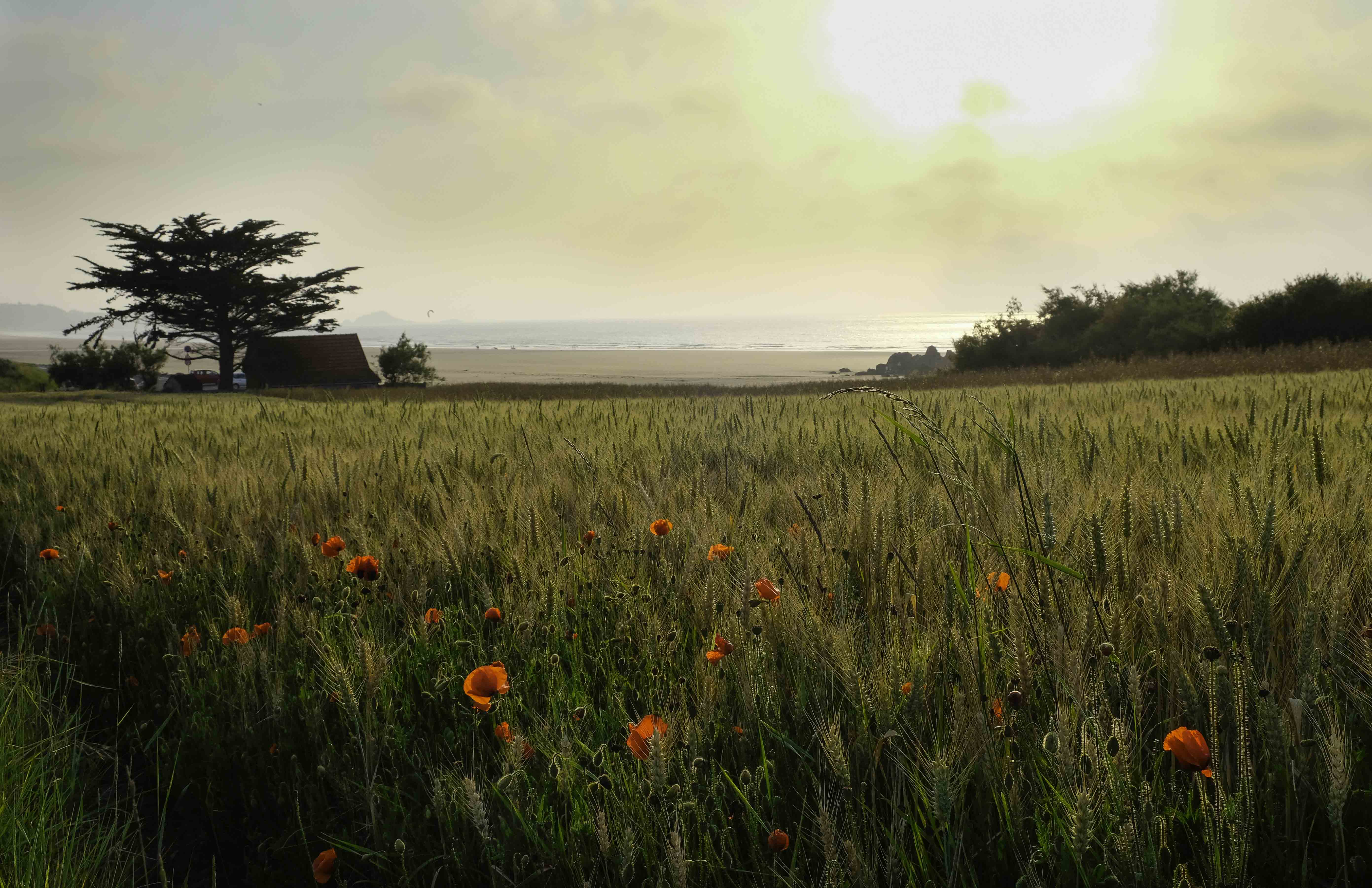 glowing-poppies-in-a-cornfield-in-the-background-the-sea-and-beach
